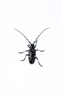 カミキリムシの写真素材 [FYI02834218]