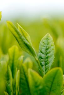 茶葉の写真素材 [FYI02834310]