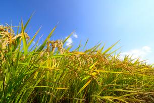稲作の写真素材 [FYI02834368]