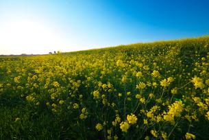 耳納連山を背景に筑後川河川敷の菜の花の写真素材 [FYI02834383]