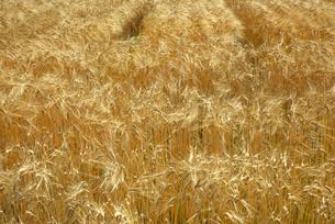 二条麦の写真素材 [FYI02834387]