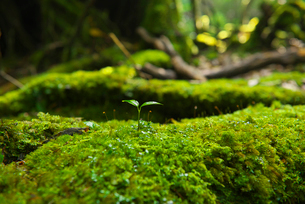 屋久島 苔むす森の双葉の写真素材 [FYI02834569]