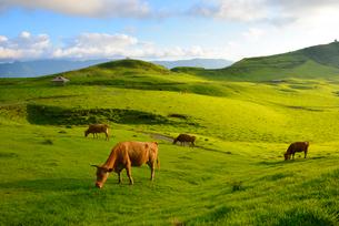 牛の放牧の写真素材 [FYI02834638]