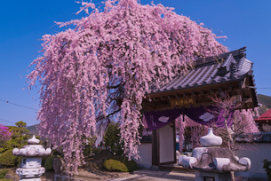 天真山周林禅寺の樹齢約120年の雪洞(ぼんぼり)桜の写真素材 [FYI02835105]