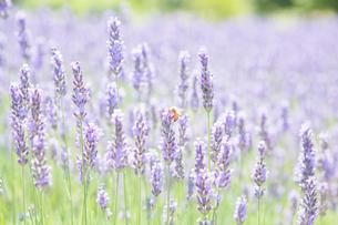 ラベンダーのお花とミツバチの写真素材 [FYI02835686]