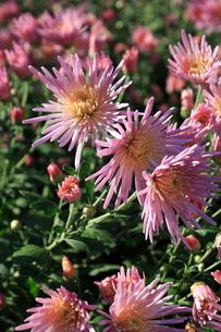 食用菊かきのもとの写真素材 [FYI02835795]