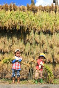 稲を収穫する男の子の写真素材 [FYI02836124]