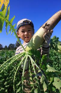 大根を収穫する男の子の写真素材 [FYI02836162]