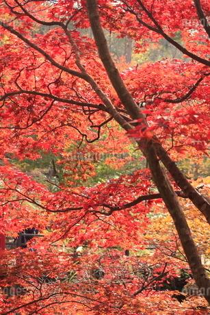 紅葉した弥彦公園のもみじ谷の写真素材 [FYI02836189]