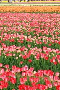 五泉市チューリップまつり チューリップ畑の写真素材 [FYI02836324]