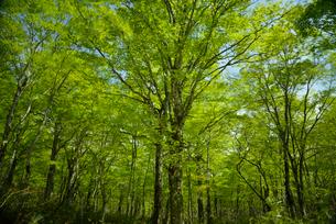 枝が揺れるブナの木の写真素材 [FYI02836421]