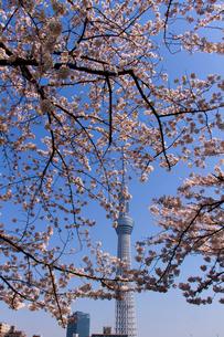 満開の桜の隙間から見える東京スカイツリー 縦位置の写真素材 [FYI02836444]