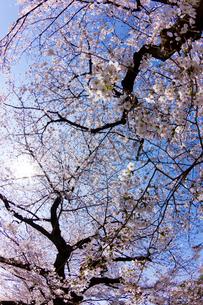 青空と満開の桜の写真素材 [FYI02836446]