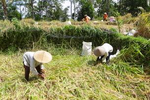 インドネシア バリ島 米の収穫作業の写真素材 [FYI02836498]