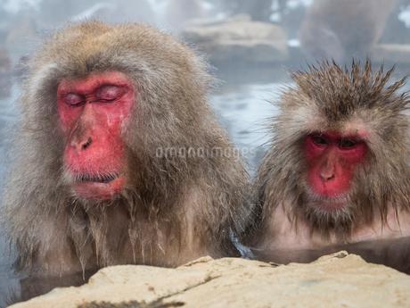 地獄谷野猿公苑の温泉に浸かる猿の写真素材 [FYI02836593]