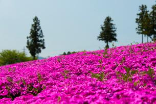 羊山公園の芝桜の写真素材 [FYI02836608]