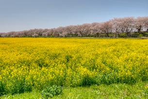 権現堂の桜と菜の花の写真素材 [FYI02836611]