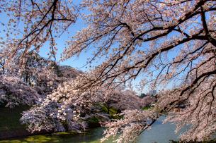 千鳥ヶ淵の桜の写真素材 [FYI02836620]