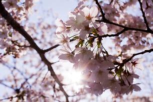 太陽光で透き通る桜のアップの写真素材 [FYI02836621]