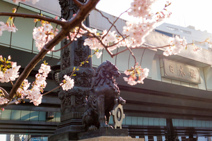 桜と日本橋の写真素材 [FYI02836672]