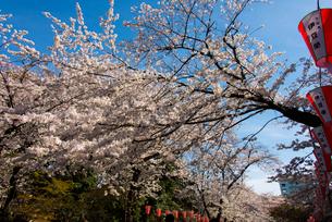 上野公園の桜の写真素材 [FYI02837071]