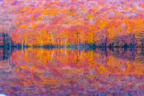 朝日を浴びて赤く染まる蔦沼の紅葉の写真素材 [FYI02837139]