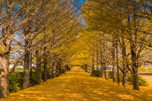イチョウ並木の紅葉の写真素材 [FYI02837291]
