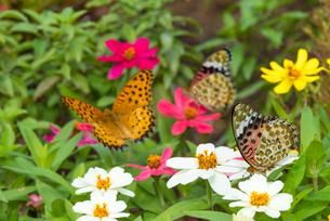 花に集うツマグロヒョウモン(オス左・メス右2頭)の写真素材 [FYI02837403]