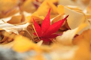 紅葉とイチョウの枯葉の写真素材 [FYI02837645]