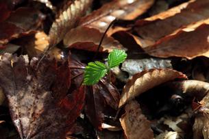 ブナの若芽の写真素材 [FYI02837707]
