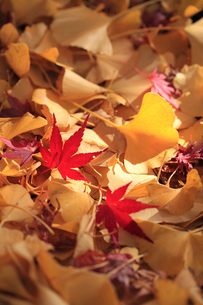 紅葉とイチョウの枯葉の写真素材 [FYI02837729]