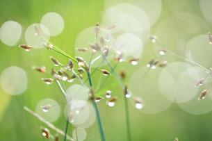 朝露に濡れる草の写真素材 [FYI02837734]