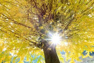 イチョウと木漏れ日の写真素材 [FYI02837752]