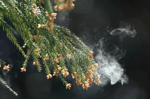 杉花粉の写真素材 [FYI02837757]