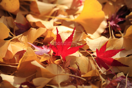 紅葉とイチョウの枯葉の写真素材 [FYI02837914]