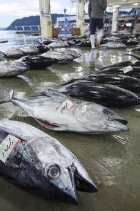 漁港の市場で競り落とされたマグロの写真素材 [FYI02837920]