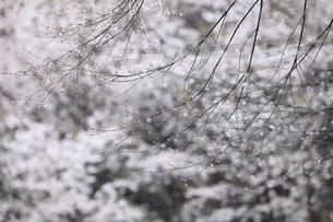 ヤマザクラを背景に雨に濡れる新芽の写真素材 [FYI02837930]