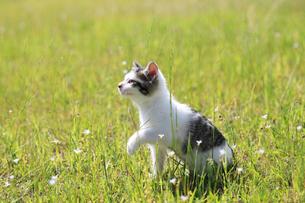 野原で遊ぶ子猫の写真素材 [FYI02837942]