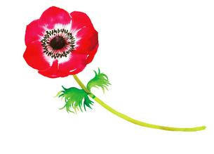赤いアネモネの花のイラスト素材 [FYI02837955]