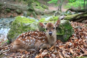 森の中で出会った小鹿の写真素材 [FYI02837982]