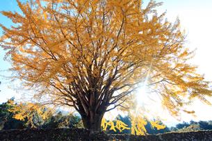 イチョウと木漏れ日の写真素材 [FYI02838080]