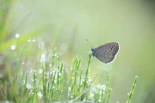 朝露と蝶の写真素材 [FYI02838085]