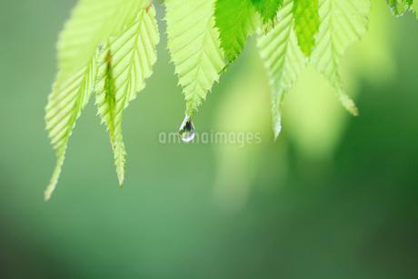 水滴が滴る新緑の写真素材 [FYI02838095]