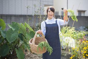 畑でにんじんとかごを持っている女性の写真素材 [FYI02838108]