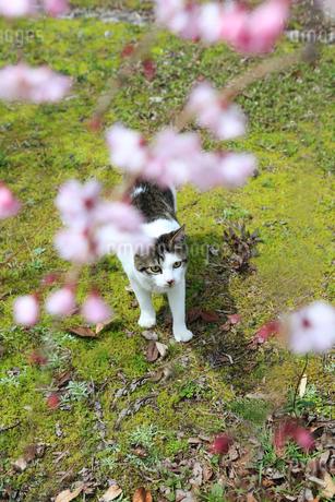 桜の花を見上げる子猫の写真素材 [FYI02838118]
