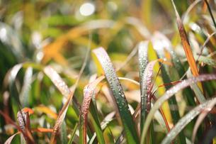 草と朝露の写真素材 [FYI02838127]
