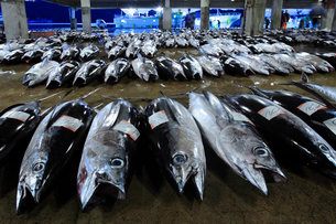 那智勝浦港に並ぶ生鮮マグロの写真素材 [FYI02838137]