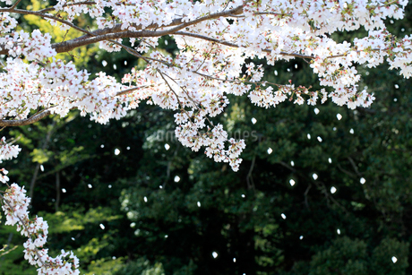散る桜の写真素材 [FYI02838478]