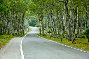 白樺林を走る道路の写真素材 [FYI02838559]