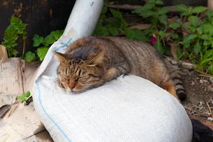 台湾、猫村、保護地区で眠るネコの写真素材 [FYI02838621]